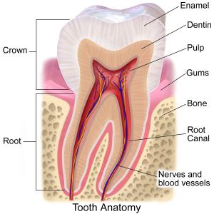 Crown Diagram Evesham Place Dental Stratford-upon-Avon